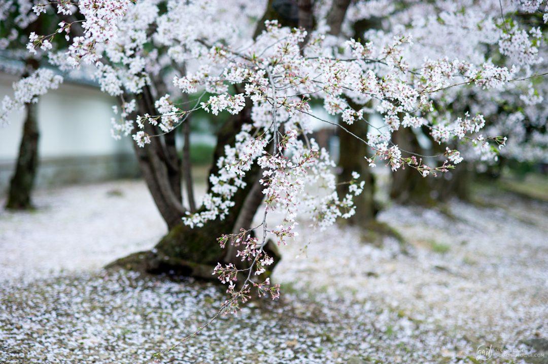 Cerisier en fleur, Kyoto