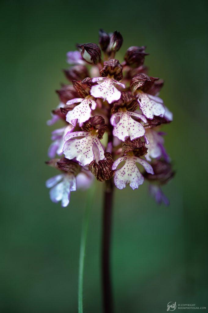 Orchis du Queyras