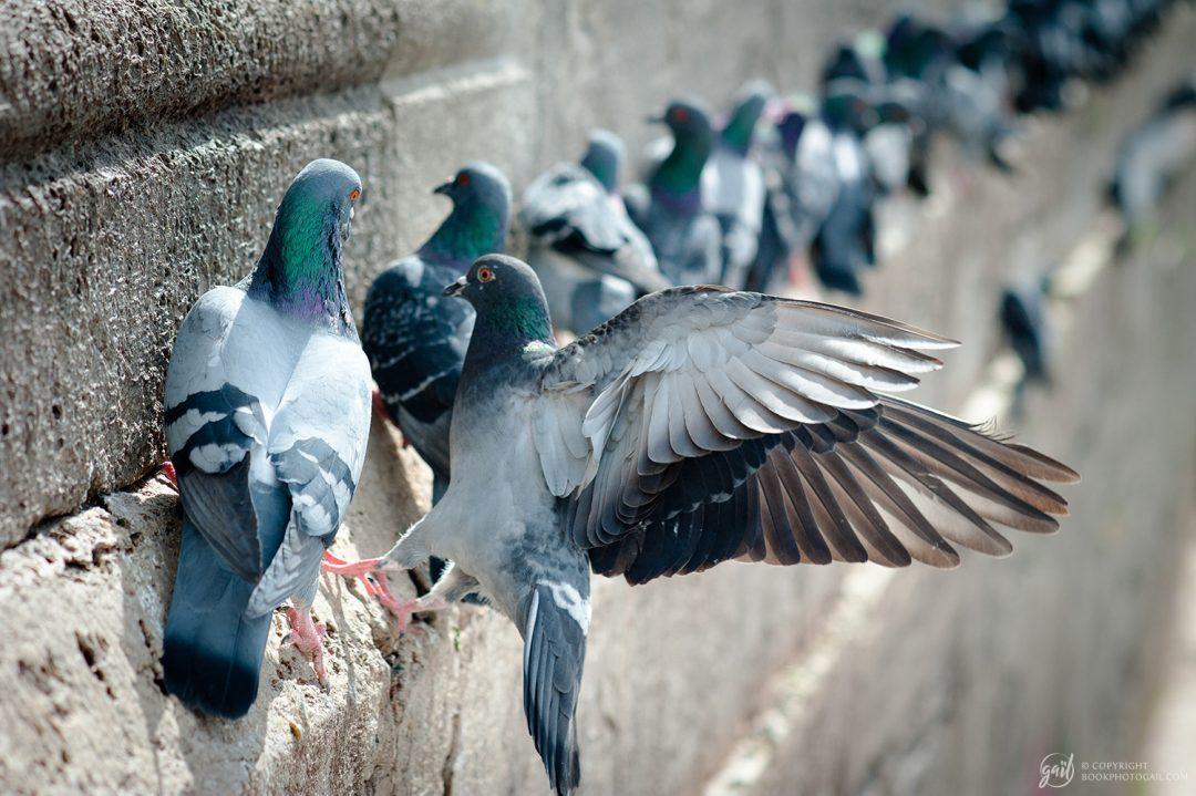 Pigeons des rues d'Istanbul