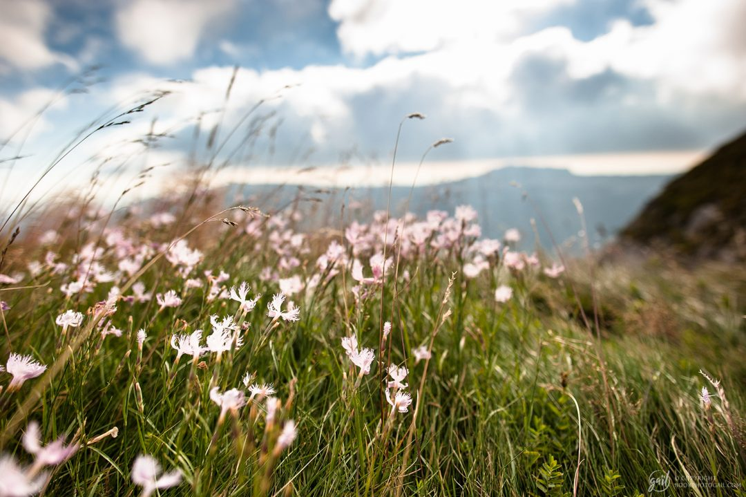 Fleurs des champs sur le plateau de Font d Urle