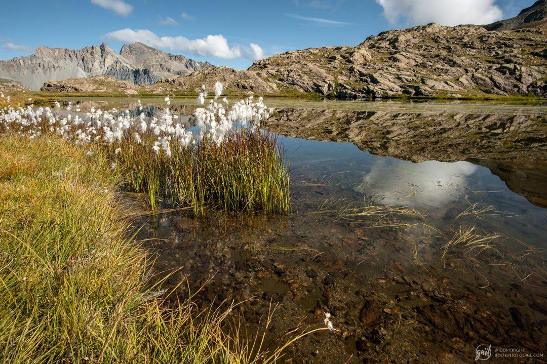 Linaigrettes, jolies fleurs des zones humides alpines, poussant ici dans le Mercantour sur les rives des Lacs de Morgon