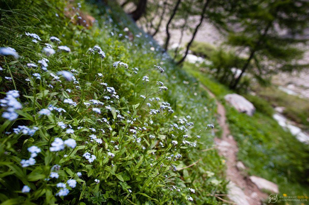 Fleurs des Alpes : myosotis le long des chemins de montagne