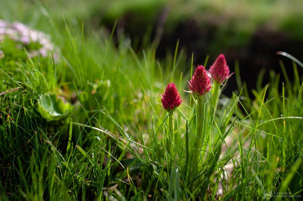 Les nigritelles, jolies fleurs des Alpes